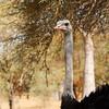 Wild longneck ostrich