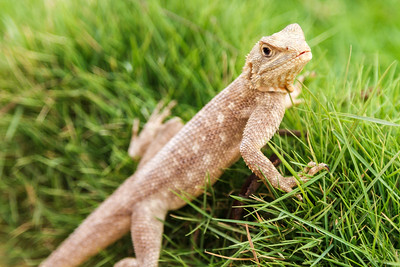 Mimetism lizard waiting