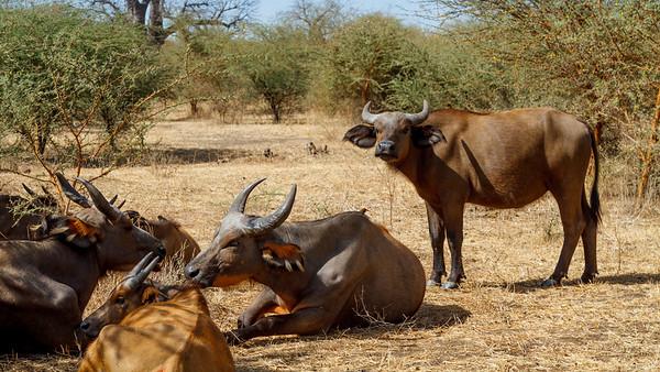 Wild buffalo resting