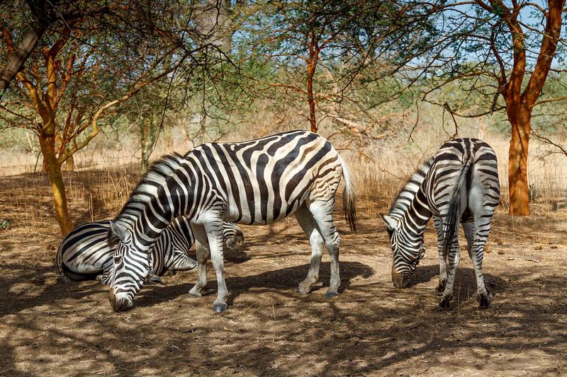 Zebras grazing in Senegal