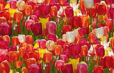 Tulip Parade!