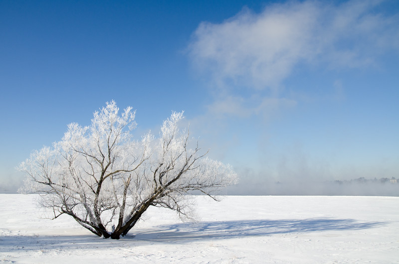 Tree by the River Covered with Hoar Frost.