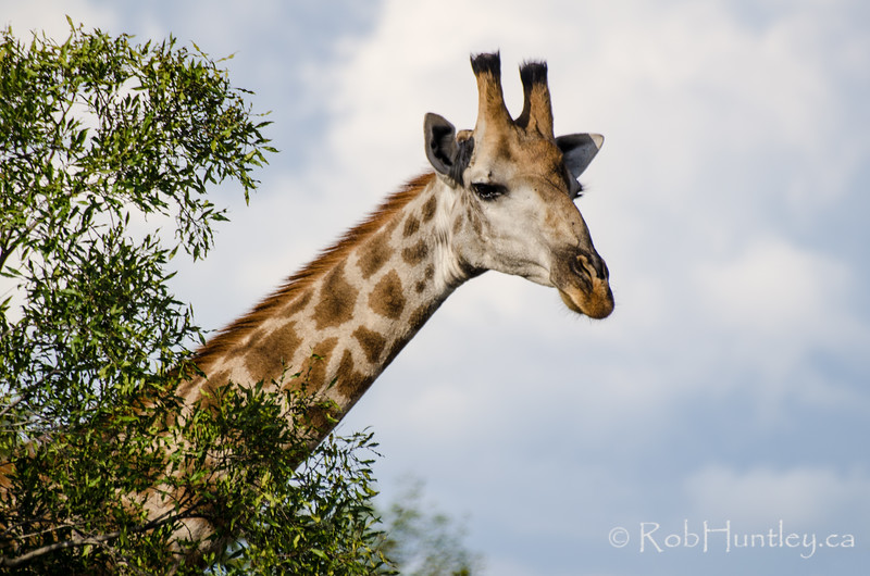 Giraffe in Manyeleti Game Reserve