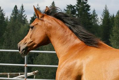 Paint the Wind Arabians