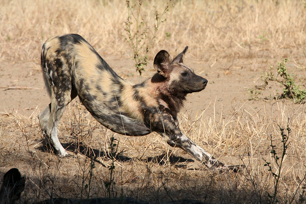 Painted Dogs Unedited - Zimbabwe 2014