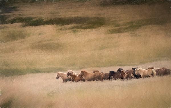 Galloping Icelandic Horses
