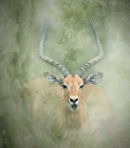 Impala Portrait, Serengeti