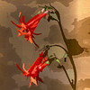 scarlet trumpet ...