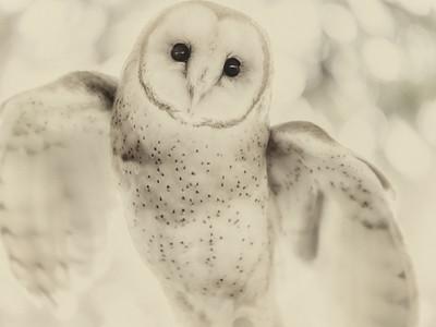 Little Barn Owl