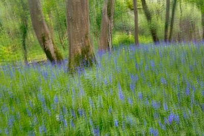 Bluebells, Muckross