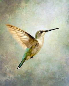 500_4125-Edit_HUMMINGBIRD BACK+)1F