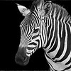 Zebra, up close