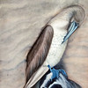 Preening Blue-Footed Booby