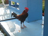 "Gallery Rooster ""Gimpy"" welcomes you!"