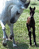 Alegria and Xino, Lusitanos, (3 days old)