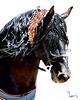 Danta (Conquistador PMF) Andalusian Stallion (PRE)