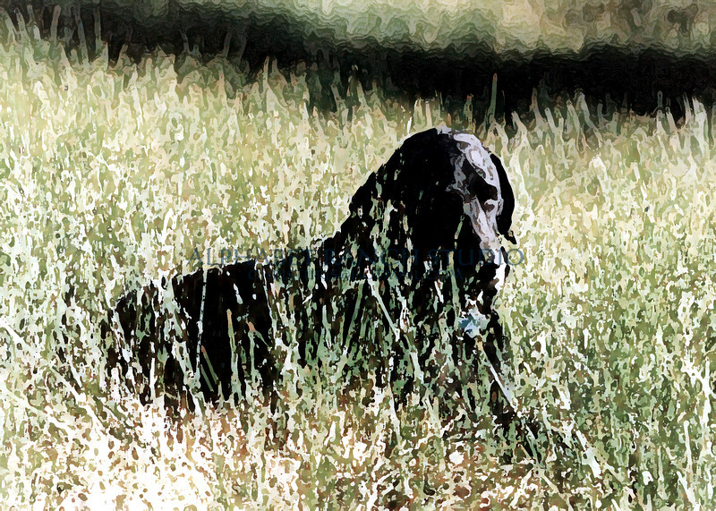 Bridger, Black Labrador.  Original Photograph by Ellen Fisher