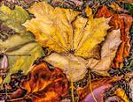 Two Yellow, Orange & Green Leaves
