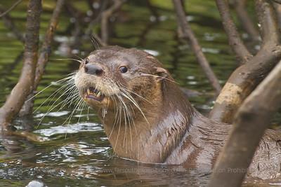 Southern River Otter, Huillín (Lontra provocax)