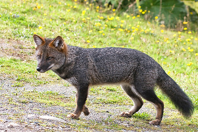 Darwin's Fox, Lycalopex fulvipes