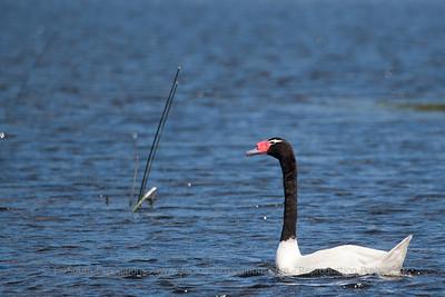 Black-necked Swan, Cisne de Cuello Negro (Cygnus melancoryphus)