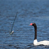 Black-necked Swan, Cisne de Cuello Negro, Cygnus melancorhyphus  © Enrique Couve, Far South Expeditions