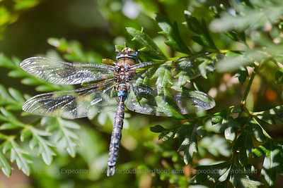 Aeshna sp., Odonata