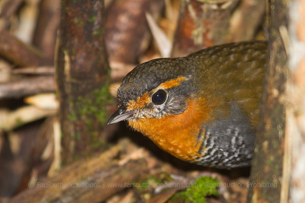 Chucao Tapaculo, Scelorchilus rubecula, Alerce Andino National Park, Los Lagos, Chile © Claudio F. Vidal, Far South Expeditions