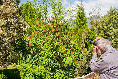 Our guest Dilip Chaudhuri (USA) photographing Chilean Firebush, Embothrium coccineum at Perez Rosales National Park, Los Lagos, Chile