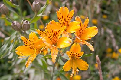 Alstroemeria aurea, Fam. Alstroemeriaceae