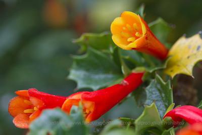 Desfontainea spinosa, Fam. Loganiaceae