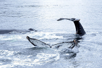 The Humpbacks of Coloane Marine Park, Patagonia