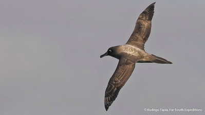 Light-mantled Sooty Albatross, Phoebetria palpebrata