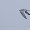 South American Tern, Sterna hirundinacea