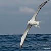 Northern Royal Albatross, Albatros Real del Norte (Diomedea epomophora sanfordi)