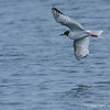 Swallow-tailed Gull, Creagrus furcatus
