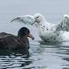 Northern (L) and Light-morph Southern (R) giant petrels, Macronectes halli & M. giganteus