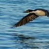 Imperial Cormorant, Phalacrocorax atriceps