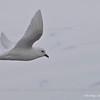 Snow Petrel, Pagodroma nivea