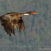 Red-legged Cormorant, Phalacrocorax gaimardi