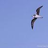 Soft-plumaged Petrel, Pterodroma mollis