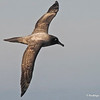 Light-mantled Albatross, Phoebetria palpebrata