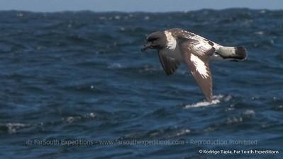 Cape Petrel, Daption capense