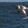 Cape Petrel, Daption capense