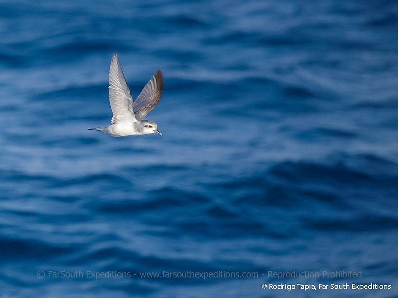 Antarctic Prion, Pachyptila desolata