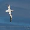 Southern Royal Albatross, Diomedea epomophora