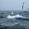 Wandering and Southern Royal albatrosses, Diomedea exulans & D. epomophora