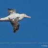 Wandering Albatross, Diomedea exulans