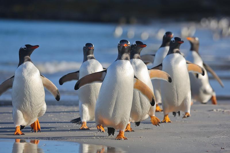 Gentoo penguins (Pygoscelis papua) heading to the sea, Pebble Island, Falkland Islands / Islas Malvinas