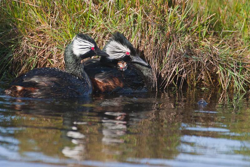 White-tufted Grebes with chick (Rollandia rolland), Pebble Island, Falkland Islands / Islas Malvinas
